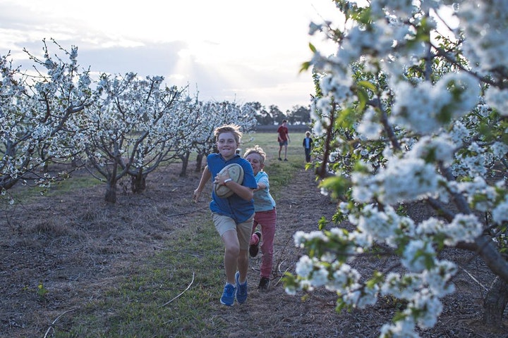 CHERRY BLOSSOM at ROTH FAMILY ORCHARD image