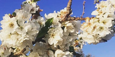 CHERRY BLOSSOM at ROTH FAMILY ORCHARD tickets