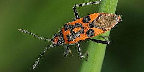 Hemiptera (True Bugs) Webinar tickets