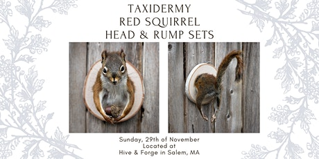 Red Squirrel Head & Rump Sets Taxidermy Class tickets