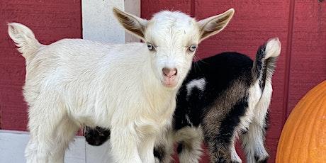 Goat Yoga Nashville- Sweaters and Scarves Spectacular