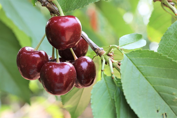 Cherries - Pick Your Own  - Mudgee image