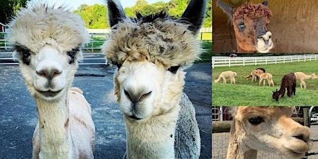 Virtual Alpaca Meet & Greet with Bluebird Farm Alpacas