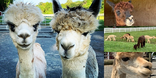 Virtual Alpaca Meet & Greet With Bluebird Farm Alpacas