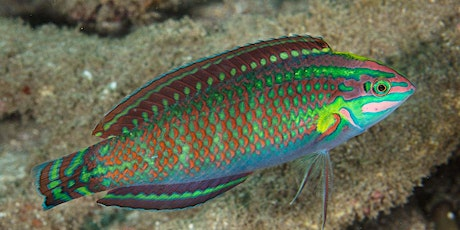 FISH ID | Wrasses tickets