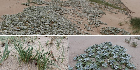 Beach and dune weeds in South Australia and Victoria tickets
