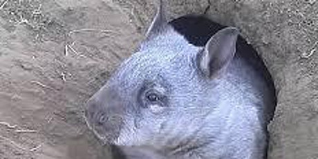 Wombat Awareness Organisation Volunteer Information Session tickets