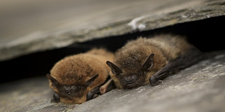 Bat Ecology and Survey Techniques tickets