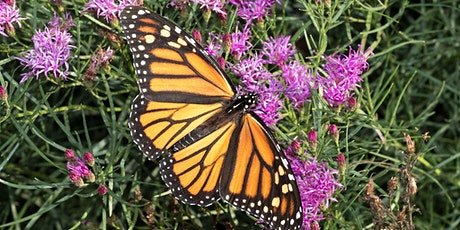 All About Monarchs: What They Need and How We Can Help (ONLINE)