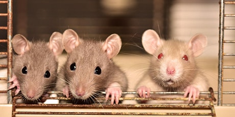 Aw, Rats! Awwwww Rats! (Rat and rodent chat, for all ages) tickets