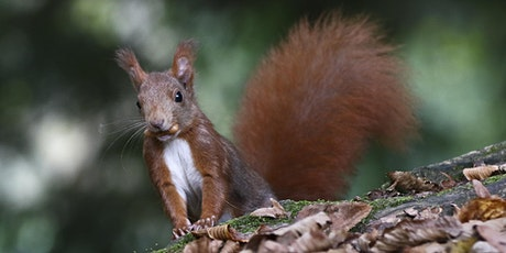 The Reds Return: Red Squirrel reintroductions in the Highlands tickets