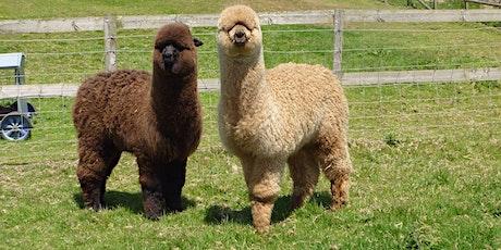 Introduction to Alpacas - Breeding, Fibre & Conformation **Postponed** tickets