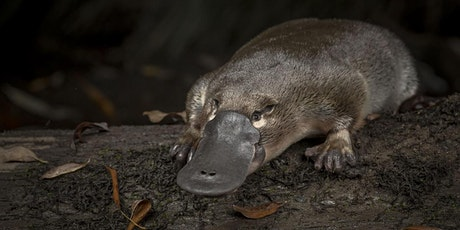 Citizen science eDNA monitoring of platypuses in Monbulk Ck & Werribee Rvr tickets