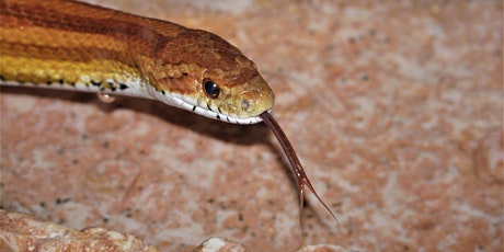 Florida Snakes (webinar) tickets