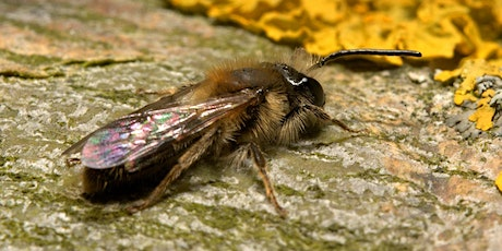 Introduction to Solitary Bees with Ryan Clark (online and option outdoor) tickets