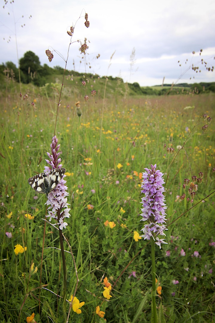Meadow Ecology and Conservation with Matt Johnson (online/outdoor) image