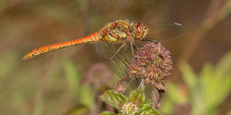 Introduction to Dragonflies with Henry Stanier (online/optional outdoor) tickets