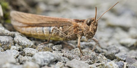 Intro to Grasshoppers and Bushcrickets with Brian Eversham (online/outdoor) tickets