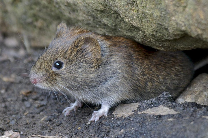 Online Introduction to Small Mammals with Peter Pilbeam image