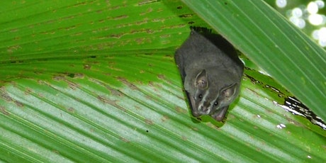 Members' Talk: The Tent-making Bats of Corcovado, Costa Rica tickets