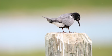 Black Terns in Trouble tickets