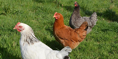Keeping Backyard Chickens-Sat. Sept. 11,10a-noon ~Reg. Deadline Sept. 5 tickets
