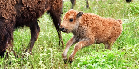 Bison Calves Tour I tickets