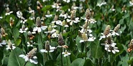 Native Plant Restoration: Yerba Mansa Meadow in Newbury Park tickets