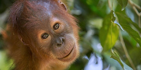 Orangutans – 'Man of the Forest' with Alison Bristo via Zoom tickets