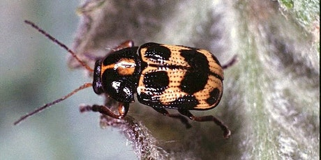 Introduction to Beetles with Ashleigh Whiffin tickets