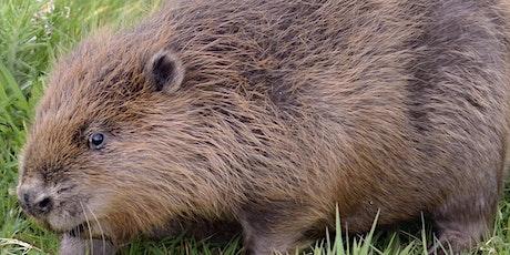Wildlife Live Webinar - Taming The Flood - a beaver's tale (EWC 2821) tickets