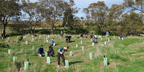 Raymond Island Koala Tree Planting Trip tickets