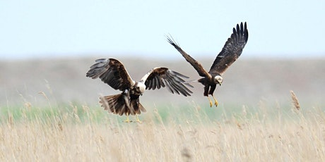Marsh Harrier Exclusive tickets