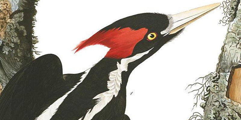 Artist rendering of an Ivory-billed woodpecker