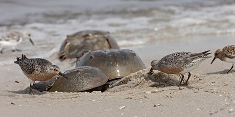 Restoring Red Knots and Horseshoe Crabs Along The Atlantic Coast tickets