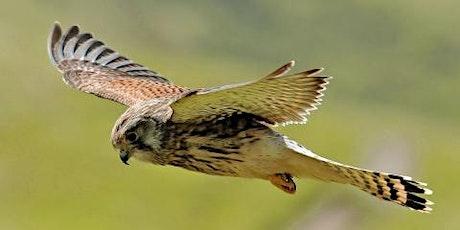 Wildlife Live Webinar - Falcons (EWC  2821) tickets