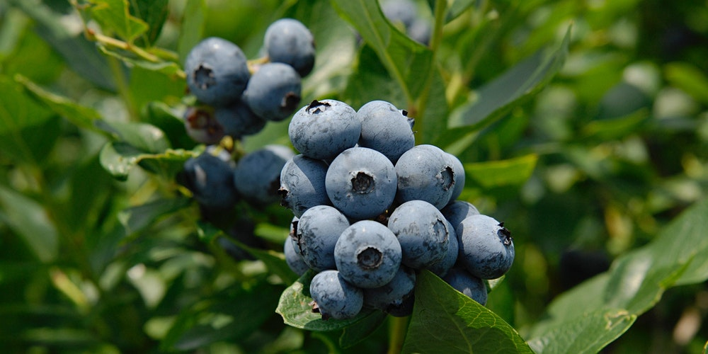 Small Fruit Pruning Workshops Blueberry Pruning Tickets Sat Mar 13 2021 At 2 00 Pm Eventbrite