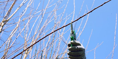 Restorative Pruning - Learn How to Prune Mature Fruit Trees tickets