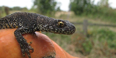 Great Crested Newts - Ecology, Survey and Licensin