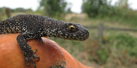 Great Crested Newts - Ecology, Survey and Licensing 2021 tickets