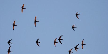 Wildlife Live Webinar - The Secret life of Swifts (EWC 2821) entradas