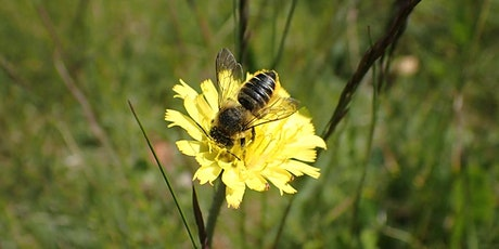 An Introduction to Garden Solitary Bees tickets