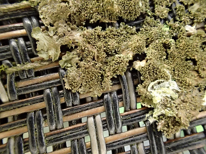 BLS  Lichen Chat & Improvement Group: Beginners & Intermediates:Tue or Wed image