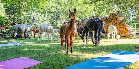 Alpakayoga Region  Basel -Yoga inmitten Alpakas billets