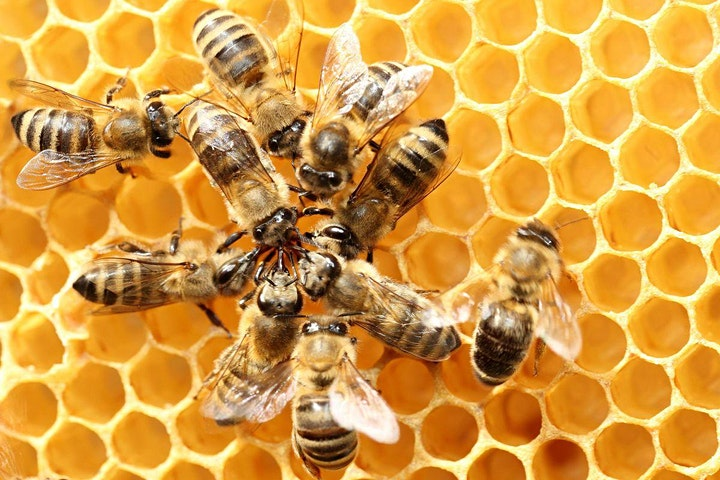 Introduction to Keeping Honeybees image