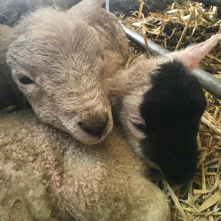 RESERVE TICKETS NOW for The Lambing Experience hosted by the Millar Family image