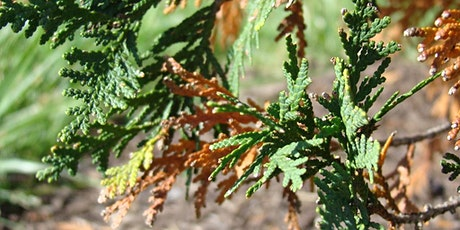 Challenges for Cupressaceae in NC Landscapes (Virtual Landscape Conf.) tickets