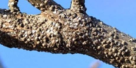 IPM for Scale Insects on Landscape Trees tickets