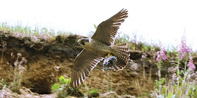 A Virtual Outing: Peregrine Wander