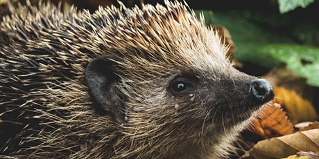 Hedgehogs and their Cousins - Digital Wildlife Walk tickets